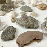 船橋三番瀬で拾った貝化石