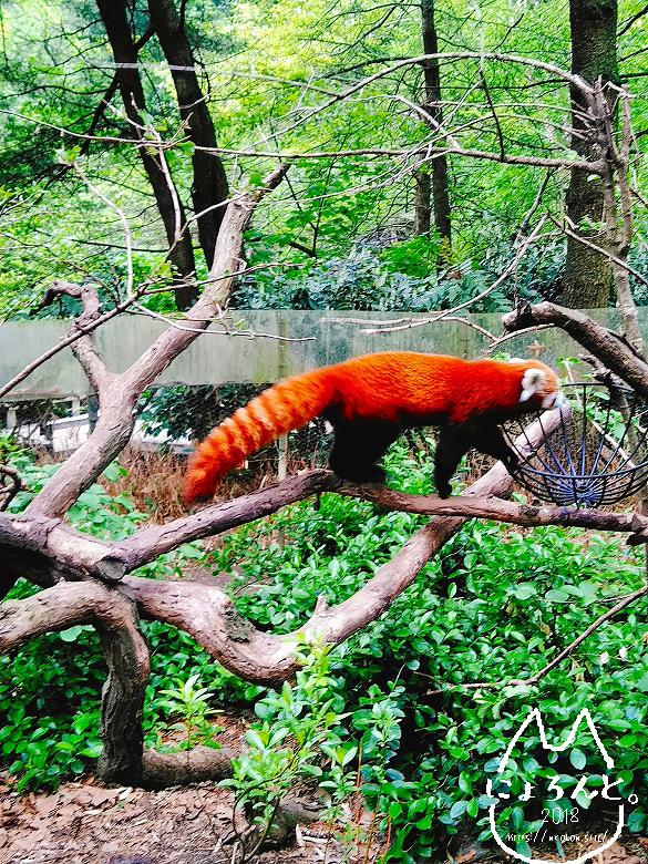 ニューヨーク・セントラルパーク動物園・レッサーパンダ