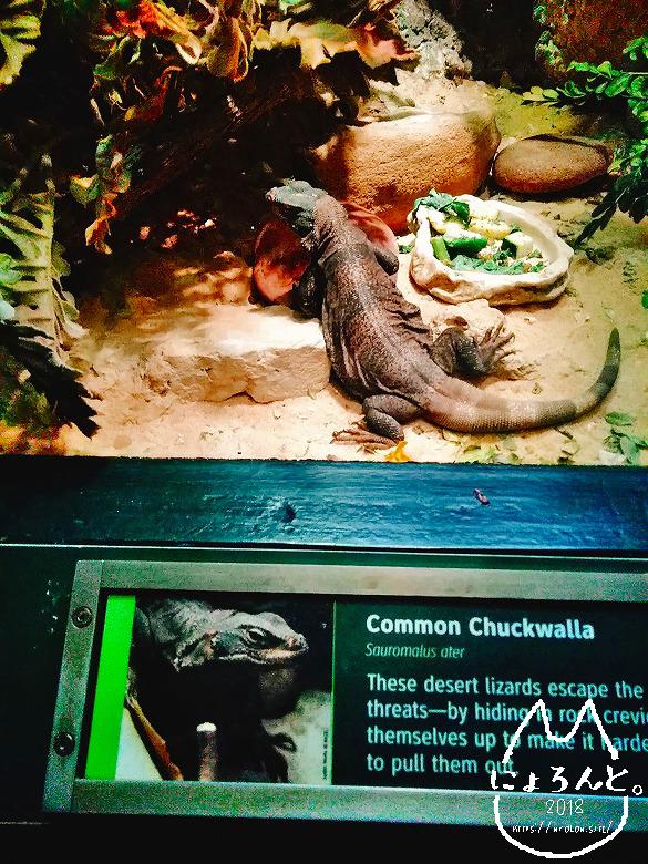 ニューヨーク・セントラルパーク動物園・温室のトカゲ