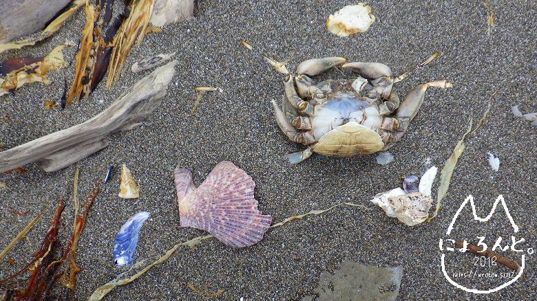 北海道・望来海岸でビーチコーミング/かに