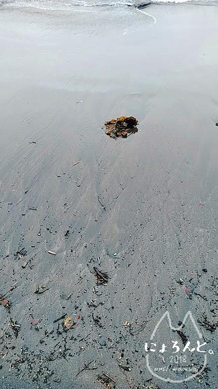 伊豆・長浜海浜公園でビーチコーミング/海藻