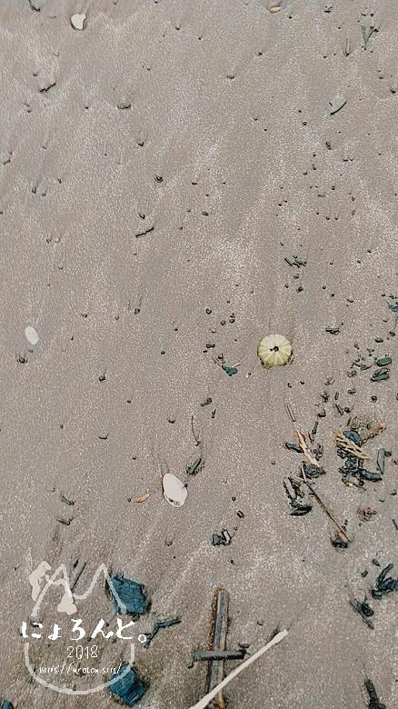 伊豆・長浜海浜公園でビーチコーミング/ウニ殻