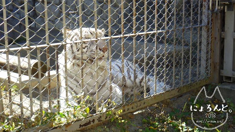 東武動物公園/ホワイトタイガー