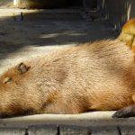 東武動物公園/カピパラとリスザル
