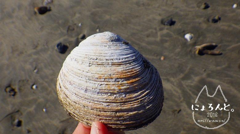 材木座海岸ビーチコーミング/二枚貝
