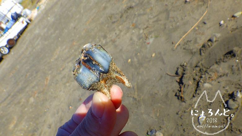 材木座海岸ビーチコーミング/馬の歯