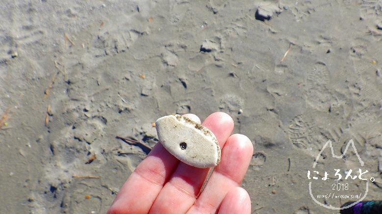 森戸海岸でビーチコーミング/ウニ化石