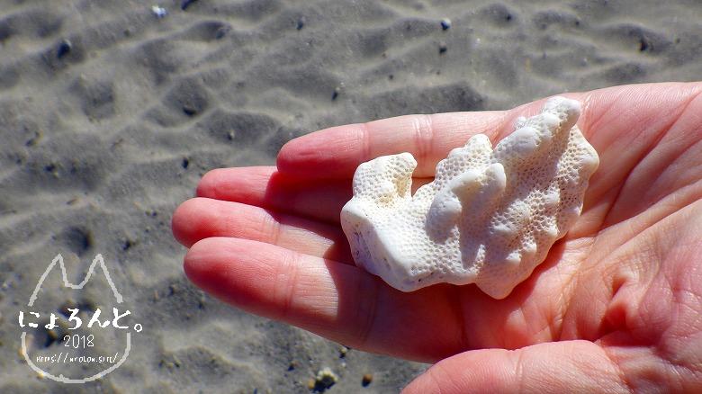 森戸海岸でビーチコーミング/珊瑚
