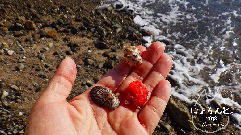 真名瀬海岸でビーチコーミング/いろんな貝