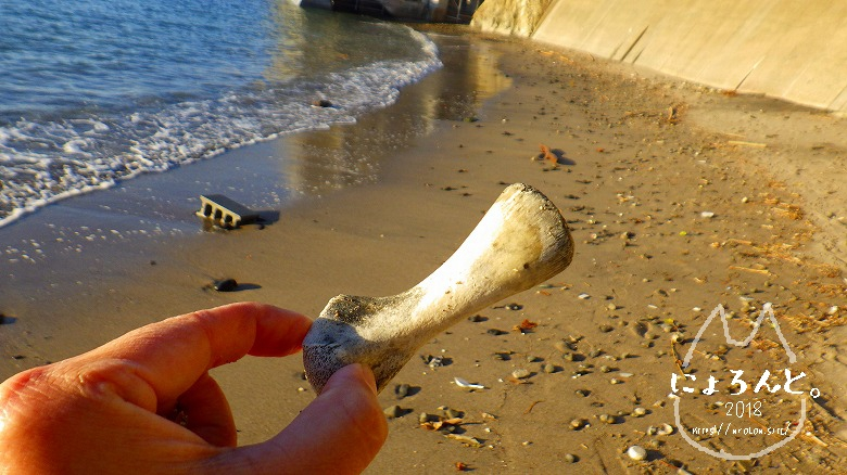 立石海岸でビーチコーミング/動物の骨