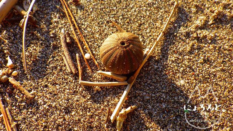 立石海岸でビーチコーミング/ウニ殻