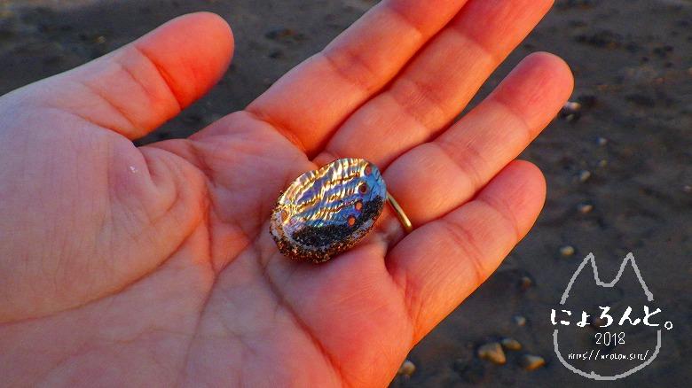 立石海岸でビーチコーミング/トコブシ