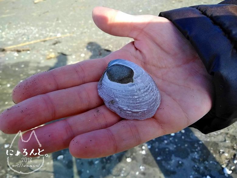 上総湊港海浜公園でビーチコーミング/貝化石