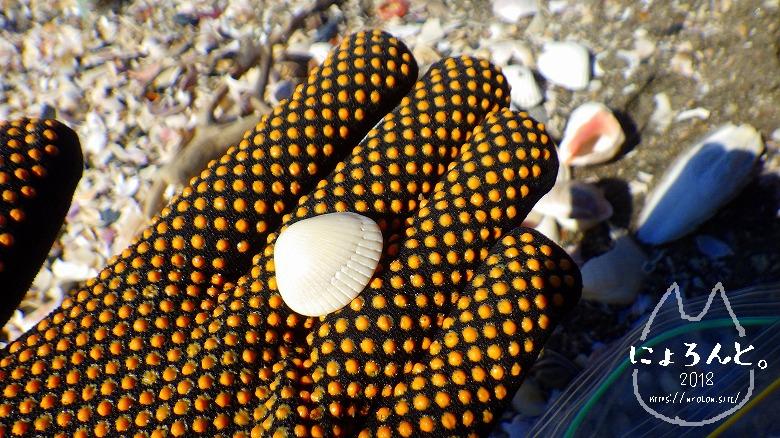 富津の布引海岸でビーチコーミング/サルボウガイ
