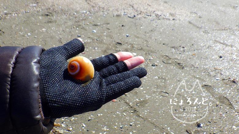 富津の布引海岸でビーチコーミング/ツメタガイ