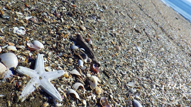 富津の布引海岸でビーチコーミング/ヒトデ