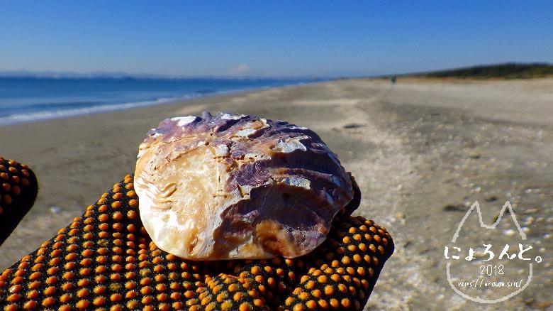 富津の布引海岸でビーチコーミング/ナミマガシワ