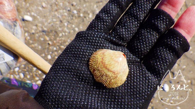 富津の布引海岸でビーチコーミング/二枚貝