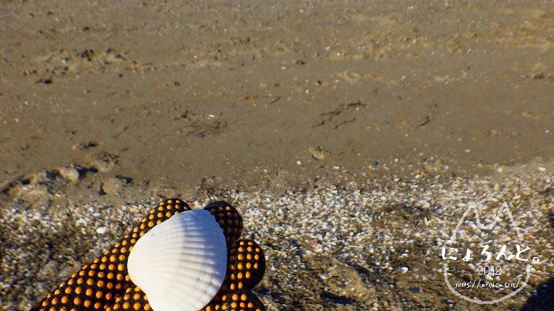 富津公園砂浜でビーチコーミング/サルボウガイ
