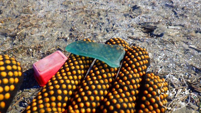 富津公園砂浜でビーチコーミング/シーグラス