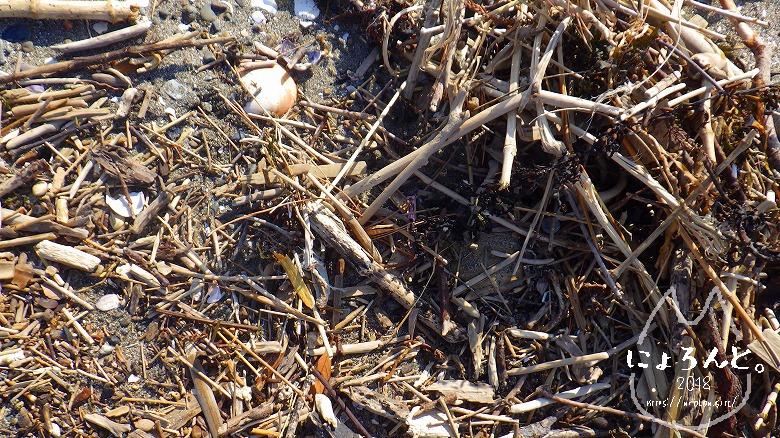 新舞子海岸でビーチコーミング/木片だまり