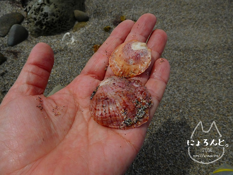 館山・坂田海岸でビーチコーミング/貝殻