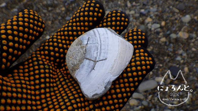 大洗海岸・磯浜灯柱前でビーチコーミング/貝化石