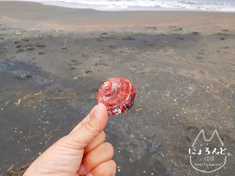 館山・平佐浦海岸でビーチコーミング/ナミマガシワ