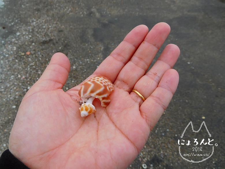 館山・平佐浦海岸でビーチコーミング/鹿の子柄