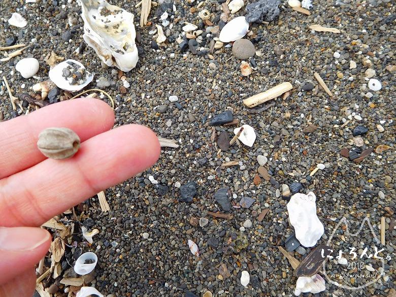 北条海岸でビーチコーミング/種子
