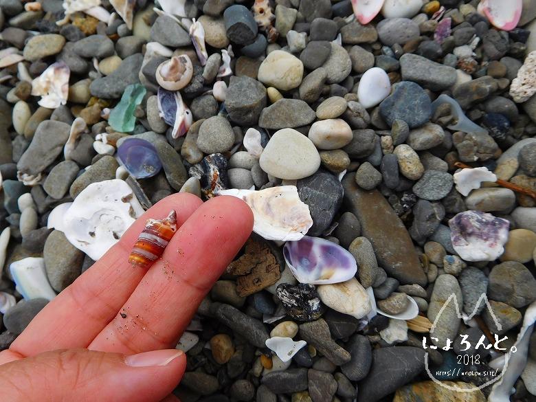北条海岸でビーチコーミング/巻貝