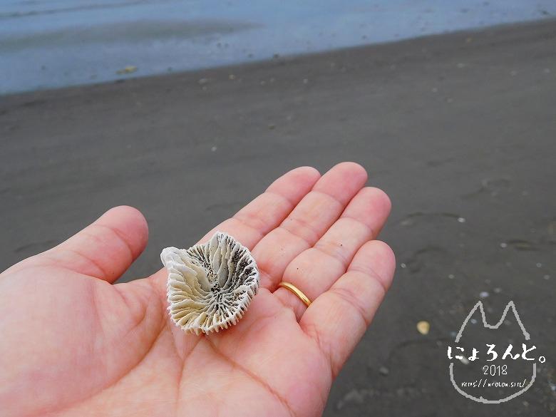新井海岸でビーチコーミング/珊瑚