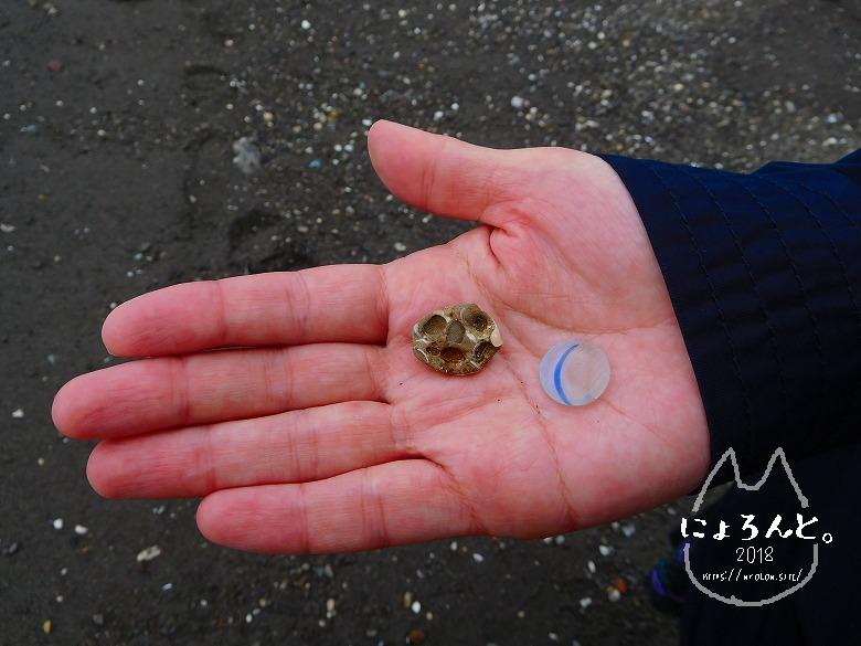 新井海岸でビーチコーミング/貝化石とおはじき