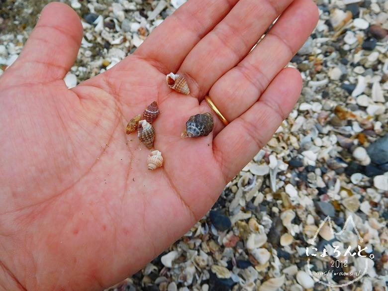 検見川浜でビーチコーミング/巻貝