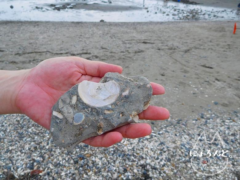 検見川浜でビーチコーミング/巨大な貝化石