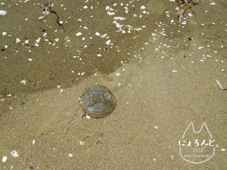幕張の浜でビーチコーミング/くらげ