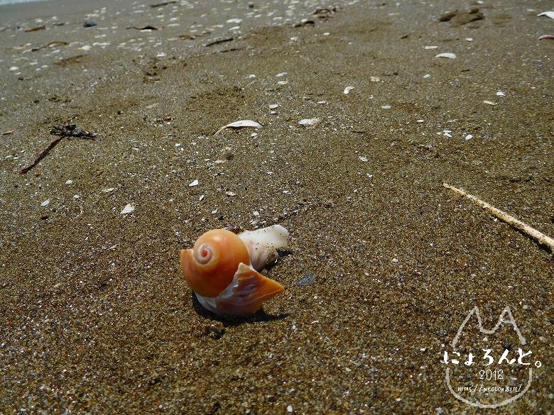 幕張の浜でビーチコーミング/ツメタガイ