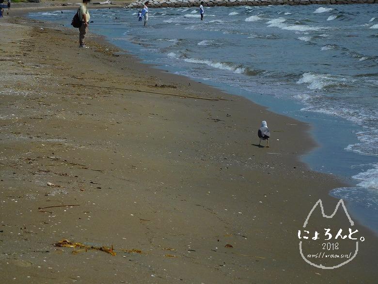 幕張の浜でビーチコーミング/ウミネコ