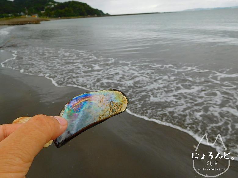 上総湊海浜公園でビーチコーミング/カラスガイ