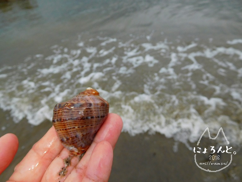 上総湊海浜公園でビーチコーミング/巻貝