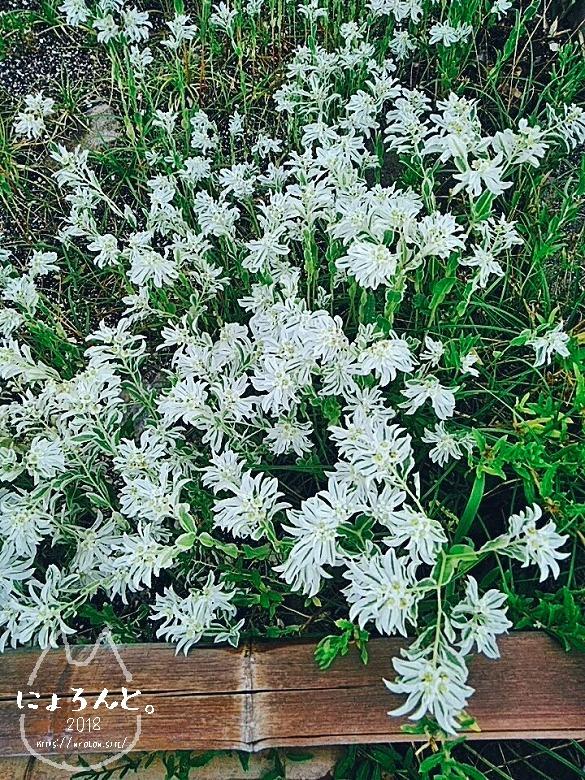 富津・竹岡萩生港南でビーチコーミング/白い花
